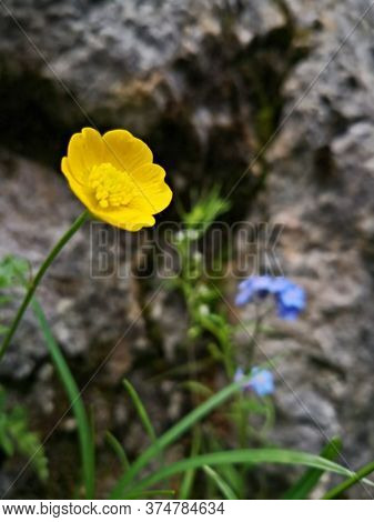 Mountain Buttercup Flowers  - Ranunculus Montanus  Willd. Beautiful Mountain Landscape With Yellow F