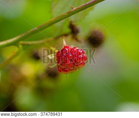 Raspberry Berry On A Blurry Green Background In The Garden. Summer Season.