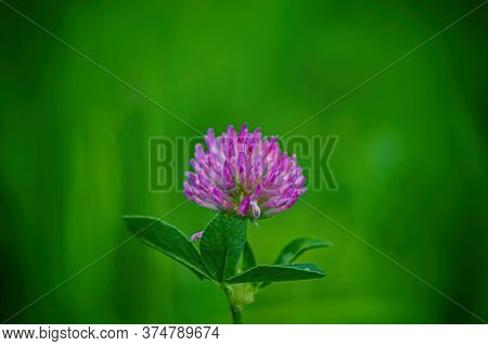 Blooming Pink Clover Flower On A Blurred Green Meadow Background. Summer Season. Web Banner.
