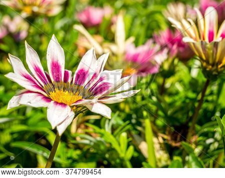 Field With White And Purple Gazania Rigens Flowers.