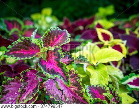 Close Up With Plectranthus Scutellarioides Or Coleus Decorative Plant.