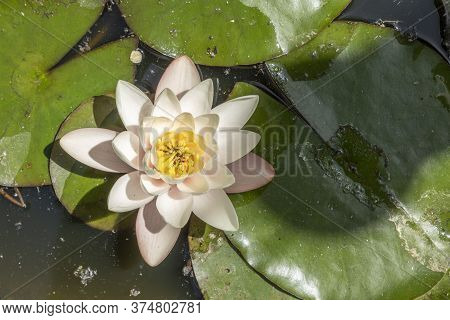 Beautiful Blooming Water Lilly Swims In The Pond