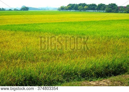Green And Gold Agriculture Jasmine Rice Farm And Soft Fog In The Morning Blue Sky White Cloud
