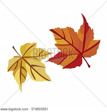 Autumn Maple Leaf Isolated On A White Background.2 Autumn Maple Leaves.autumn Designer Collection Re