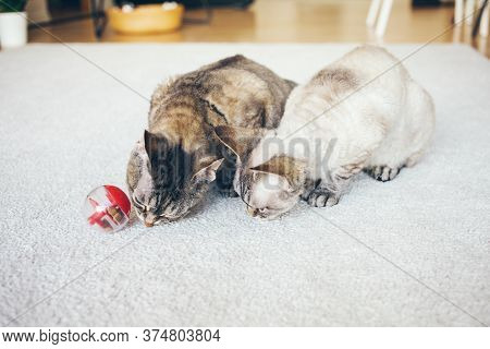Slow Feeder Toy For Cats. Two Curious Devon Rex Cats Are Playing With Special Toy Ball Dispenser Wit