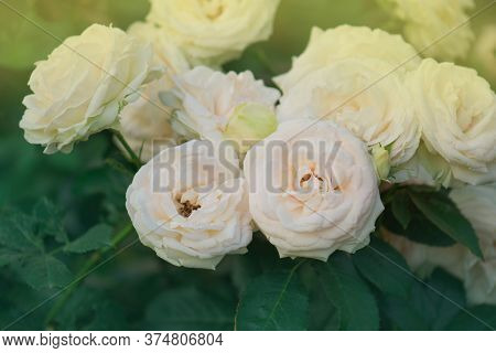 Blooming White Flowers On The Bush In Flowers Garde