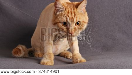 Cute Ginger Kitten Staring Intently At The Camera Closeup On Gray Background, Horizontal Format