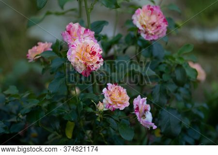 Rose Camille Pissarro. Roses Are Striped Red White And Yellow
