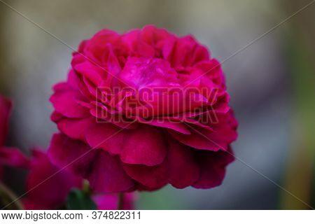 Falstaff Roses In Garden. English Rose Falstaff