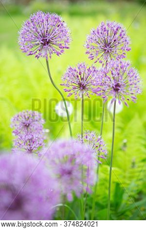 The Allium Flower Is In Full Bloom, Blooming In The Garden. Summer Photo Of A Beautiful Flower