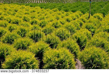 Holmstrup. Nursery For Goldstrike Cedar. Plant Nursery In Bulgaria.