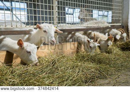 White Goats On A Goat Farm. Goats Grown For Milk Eat Hay On A Farm. Livestock