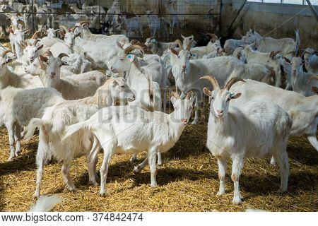 A Lot Of Goats On A Goat Farm. Livestock Farming For Goat Milk Dairy Products