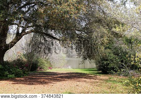 A Beautiful Curved Large Tree Over A Path Drive Next To A Lake