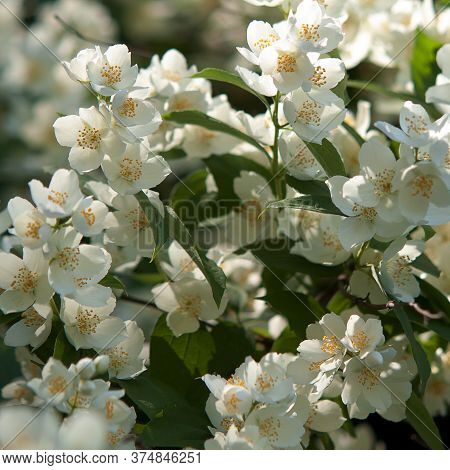 Jasmine Bush With Wonderful White Flowers Blooming In A Sunny Summer Park Or Forest
