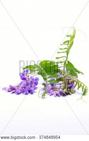 Vicia Cracca Tufted Vetch, Cow Vetch, Bird Vetch, Blue Vetch, Boreal Vetch. Isolated On White Backgr