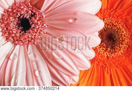 Fresh Gerbera Flowers With Water Drops. Droplets On Gerbera Petals. Shallow Depth Of Field. Selectiv