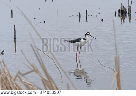Black Necked Stilt In A Wetland Pond In The Anahuac National Wildlife Refuge In Texas