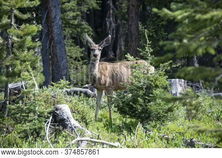 Mule Deer Doe Alertly Watching Is Walking Through Pine Tree Forest In Colorado, Usa