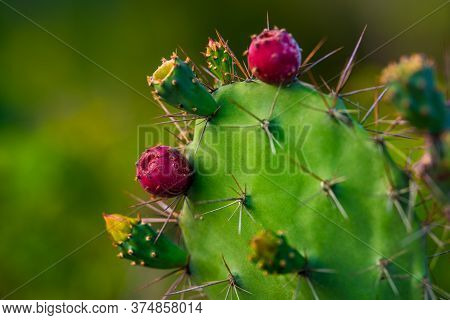 Prickly Pear Cactus Opuntia Close Up With Red Fruits And Blooming Flowers. Often Called Nopal Cactus