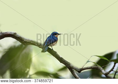 Beautiful Small Bird, Adult Female Malaysian Blue Flycatcher, High Angle View, Rear Shot, In The Mor