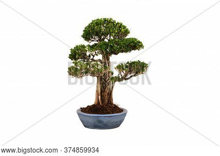 A Small Bonsai Tree In A Ceramic Pot On The White Background With Clipping Path.