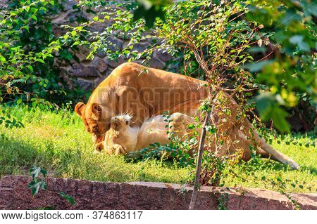 Two Adult Lionesses Fighting With Each Other