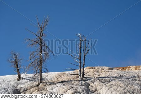 Dead Burned, Scortched Trees On The Terraces Of Mammoth Hot Springs Area Of Yellowstone National Par