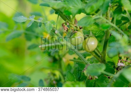 Tomato In Greenhouse. Tomatoes On A Branch.unripe Green Tomatoes Growing On The Garden Bed. Tomatoes
