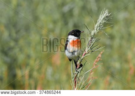 A Black-headed Meadow Bird With A Black Head, Wings, White Belly And Red Breast (saxicola Rubicola).