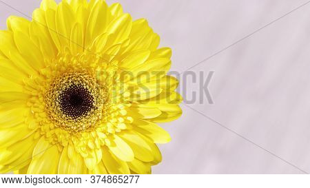 Delicate Yellow Gerbera Flower Close Up On Pink Background. Natural Flowery Greeting Card, Nature Or