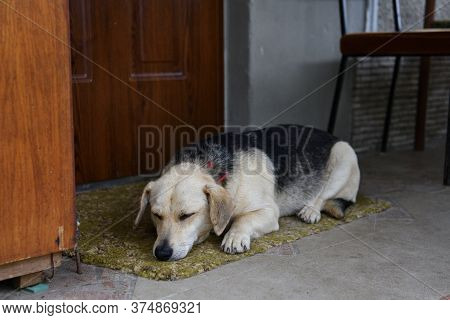 The Domestic Dog Is Lying And Waiting For His Master In Front Of The Door