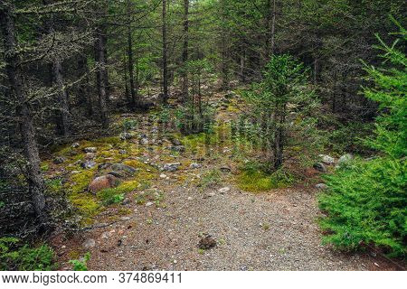 Scenic Forest Landscape With Conifers Among Mosses And Stones. Colorful Scenery With Small Conifer T