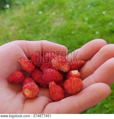 Ripe Strawberries Are Lying On Your Hand. A Handful Of Red Berries. Close Up. Concept: Healthy, Fort