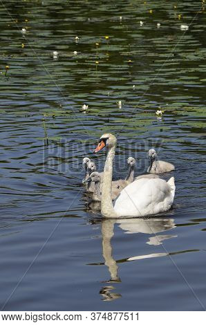 A Large Swan With Small Swans Swims In The Pond. A Brood Of Wild Birds In A Pond. Offspring Of White