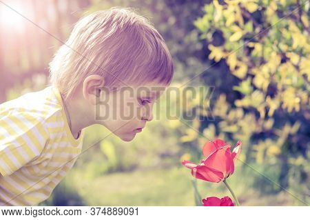 A Handsome Boy Of 2 Years Has Leaned Over And Carefully Looks At A Red Tulip. A Child Sniffs A Flowe
