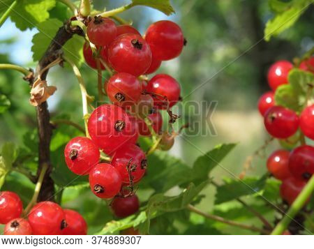 Macro Photo Of The Nature Of Red Currant Berries. Texture Background Of Red Currant Berries.