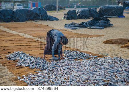 Negombo, Sri Lanka - February 03, 2020: Sri Lankan Woman Lays Out Fish For Drying. Negombo Fish Mark