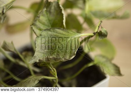 Spider Mites Colony And Wed On Home Plant. Plant Disease Image