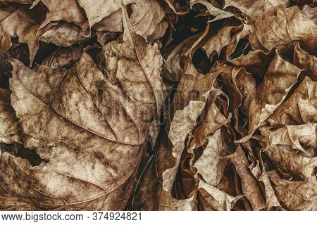 Fallen Dried Brown Leaf Fall On The Ground. Abstract Autumn Background, Season, Associations Of Agin