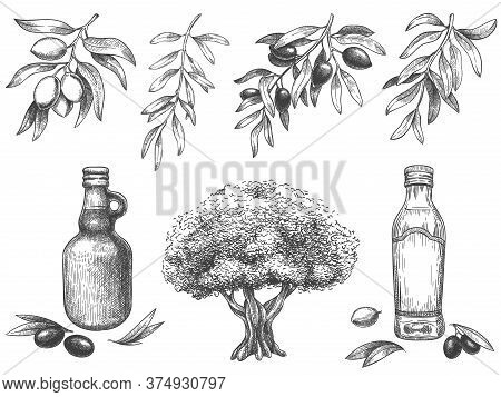 Engravied Olive Oil. Hand Drawn Olives Tree, Sketch Oil Bottle And Olive Branches With Leaves Vector