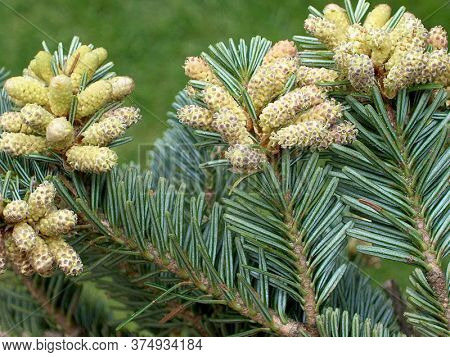 White Fir Tree Needle Conifer Evergreen Collage