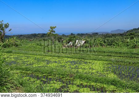 Rice Fields With Hut. Traditional Farmer Hut In The Rice. A Hut