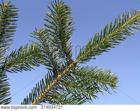 Nordmann Fir Tree Needle Conifer Evergreen Branch
