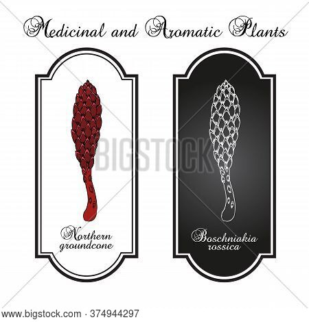Northern Groundcone Boschniakia Rossica , Medicinal Plant. Hand Drawn Botanical Vector Illustration