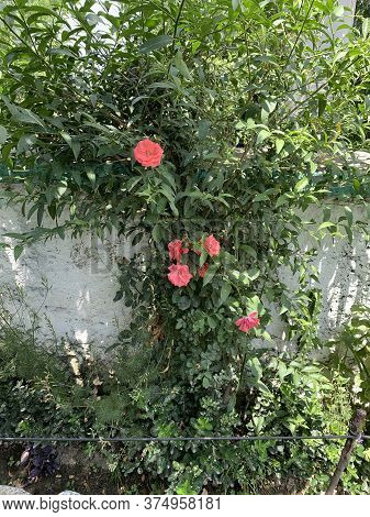 Big Red Flowers On The Green Plant Near The White Wall Of The Garden