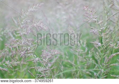 Green Grass With Flowering Racemes Of Ears In A Uniform Soft Light. Natural Background.