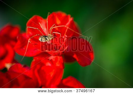Daddy Long Lengs On Red Flower