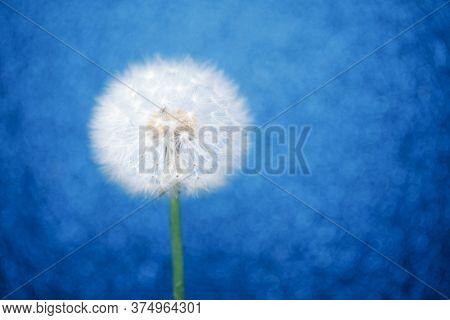 dandelion flower on blue bokeh background