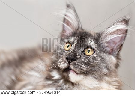 Portrait Of A Maine Coon Cat With A Surprised Look.